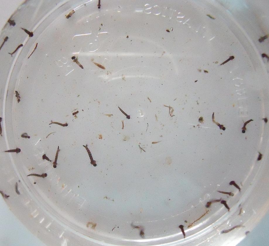 Mosquito larva in pond - photo#4