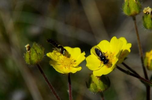 Flies visiting cinquefoil in Kangerlussuaq