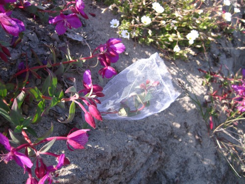 Mesh bag placed around Niviarsiaq flowers to exclude pollinators.
