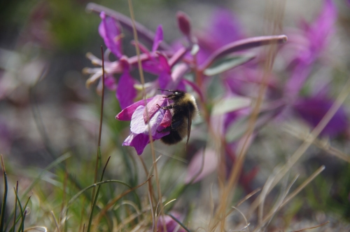 A bumblebee visits Niviarsiaq, the national flower of Greenland.