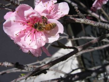 "A bee pollinates a peach flower. Pollination is an important ""ecosystem service."""