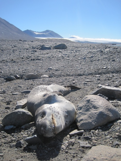 Seals don't do nearly as well as nematodes in the Dry Valleys. Here's a leopard seal that somehow made it into Taylor Valley but didn't last long.