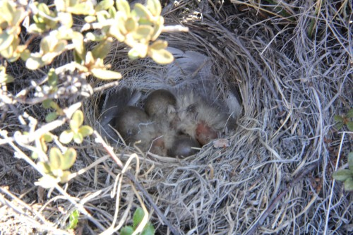 Baby Lapland longspurs in their cozy nest: one of the many signs that summer has arrived to Kangerlussuaq.