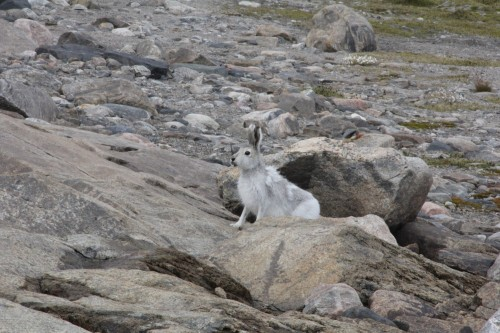 This week it seemed as though animals were coming to say goodbye. We had multiple close encounters with arctic hares -- amazing!