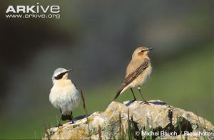 Northern wheatear (male and female)