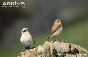 Northern wheatear (male and female)