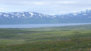 Grazing reindeer in the alpine tundra above the mountain birch stands ourside of Abisko, Sweden.